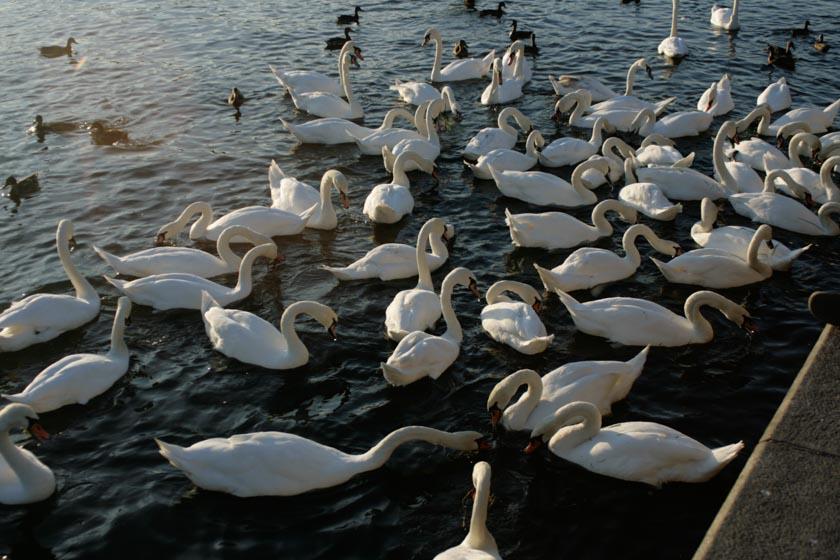 Calurosa bienvenida de los cisnes
