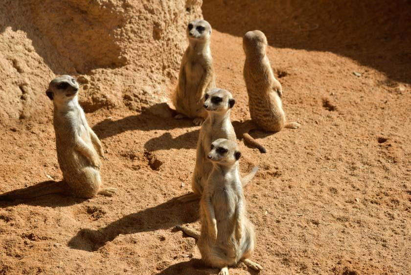Pero qué curiosos son los suricatas