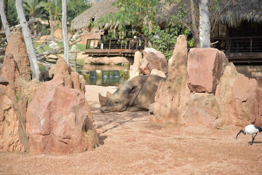 Rinoceronte descansando