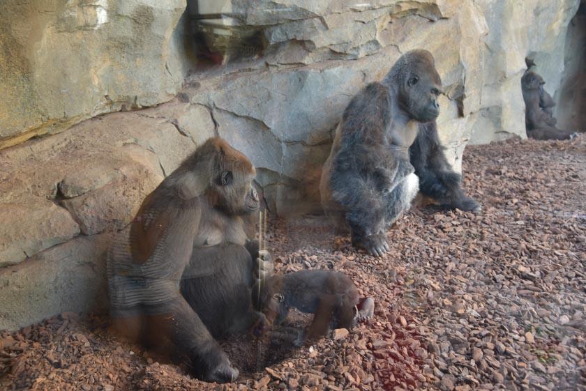 Gorilas cuidando de su bebé