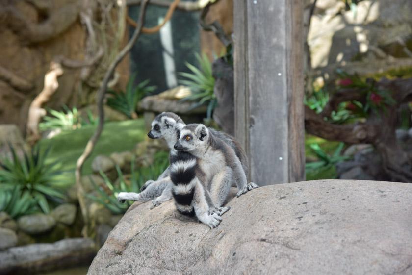 Lemures en el zoo de Skansen