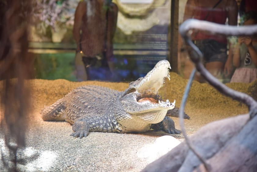Uno de los animales que más gustó a Daniel, el cocodrilo