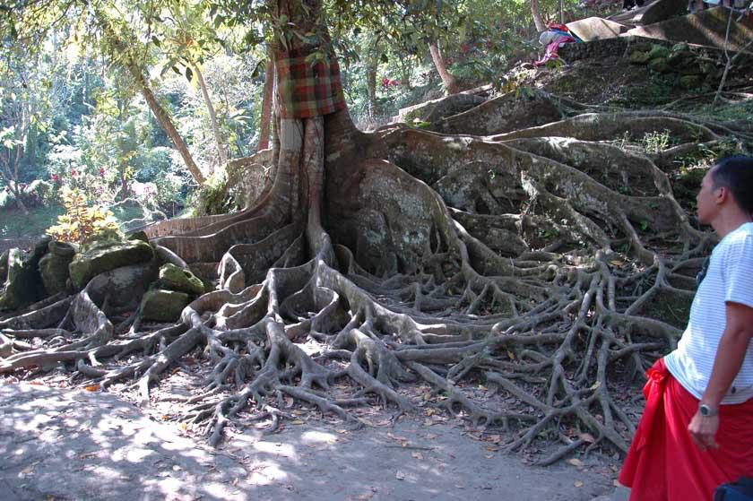 Milenario árbol en Goa Gajah