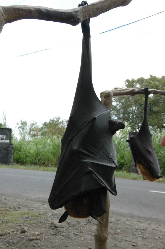 Zorros voladores en Buyan
