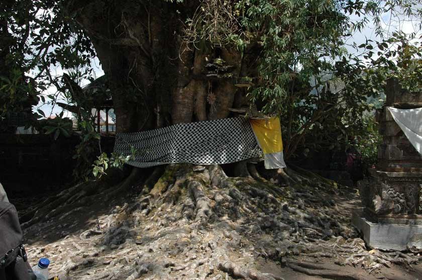 Precioso árbol centenario en Ulun Danu