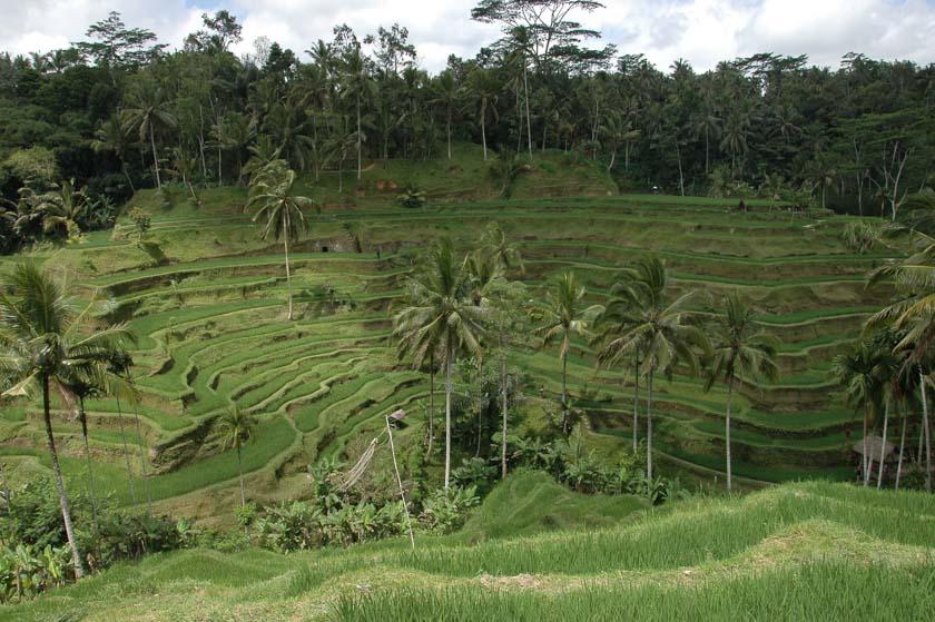 Increíble vista de los campos de arroz