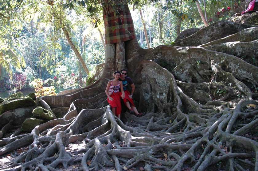 Increíble árbol en Goa Gajah