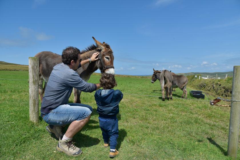 Acariciando a los burros de los acantilados de Kerry