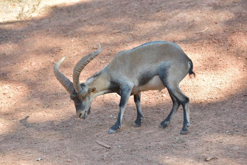 Cabra en Cazorla