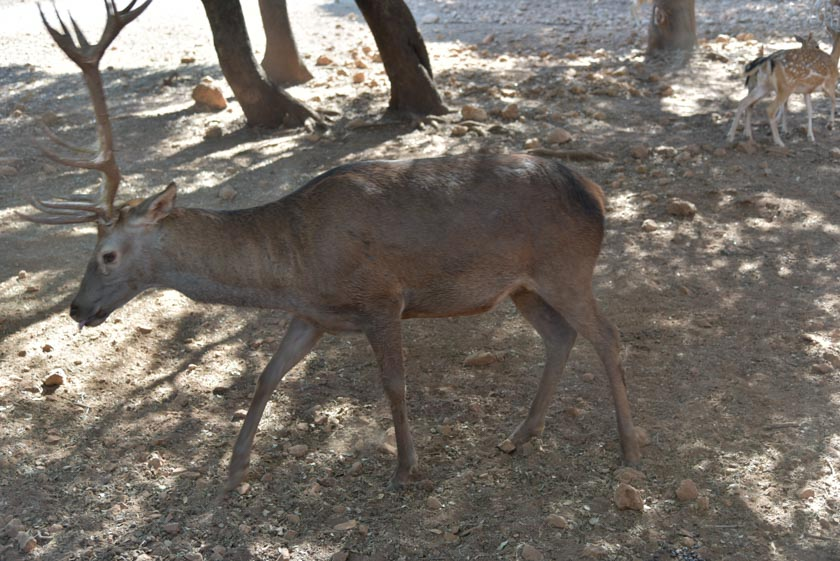 Observando los ciervos en Cazorla