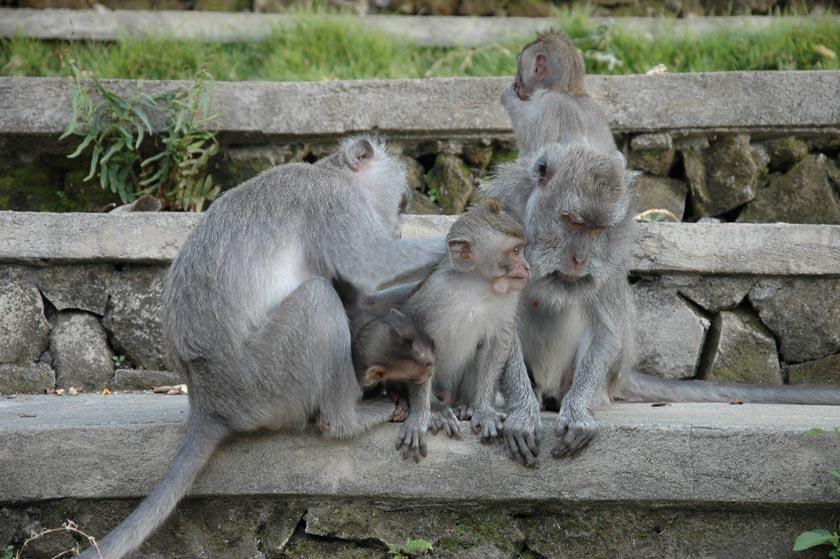 Ellos saben que son los reyes de Monkey Forest