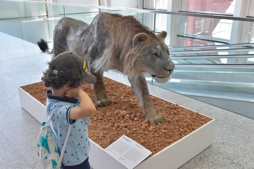 León de las cavernas en el museo de la evolución humana